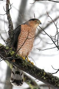 #1348  Cooper's Hawk