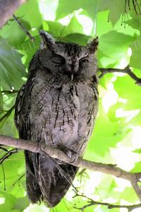 #1003  A mature Screech Owl