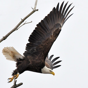 #1685  Bald eagle, adult, taking flight over swamp in South Acton, MA   02-16-20