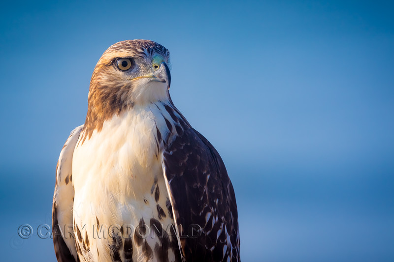 Hawk on the stairs at Folly Beach, Washout.