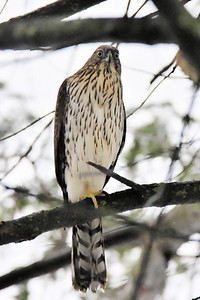 #1608  Cooper's Hawk, juvenile