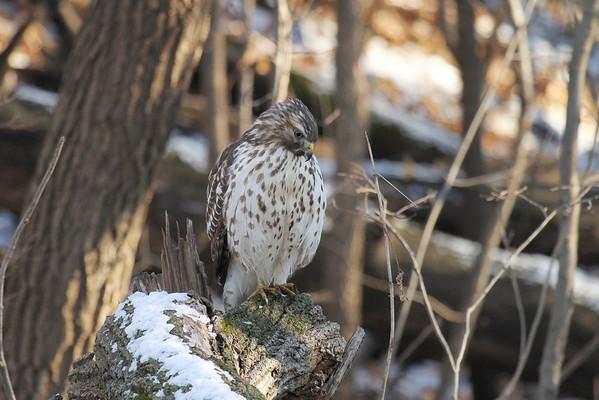 Coopers Hawk (Juvenile) (Accipiter cooperii)