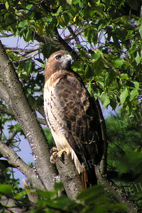 #293  Red tailed hawk