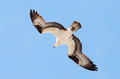 #570  An Osprey in flight