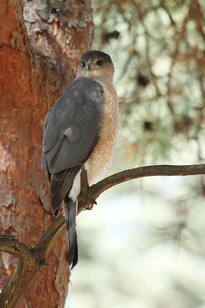 Coopers Hawk (Adult) (Accipiter cooperii)