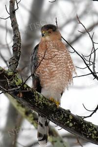 #1345  Cooper's Hawk