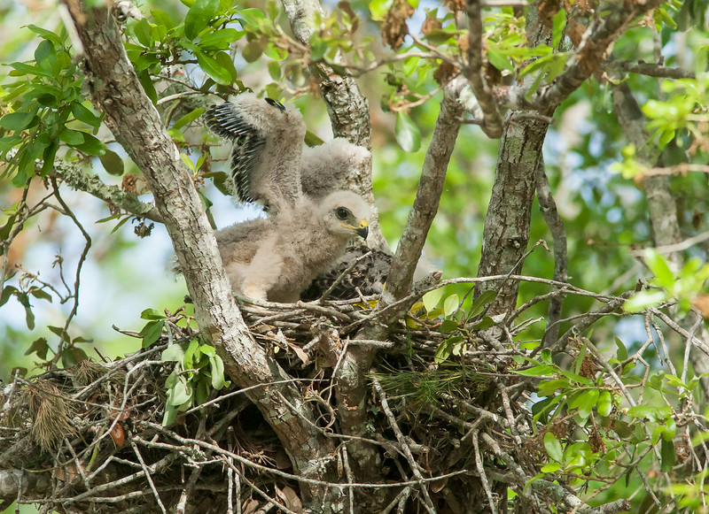 Red Shouldered Hawk Chick Flapping his Wings