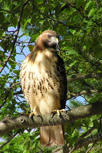 #289  Red tailed hawk