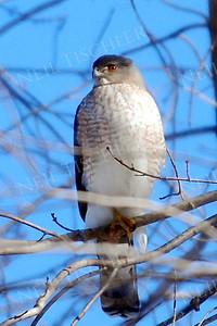 #802  Cooper's Hawk