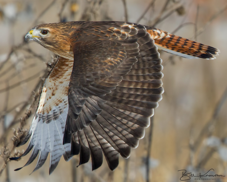 Hybrid Red-tailed x Red Shouldered hawk
