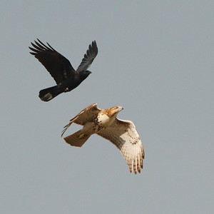 #1709  American Crow attacks a Red Tailed Hawk