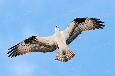 #571  An Osprey in flight