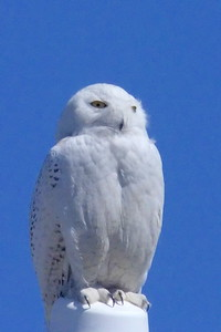 #1458  Snowy Owl  at Salisbury Beach, MA    04-22-18