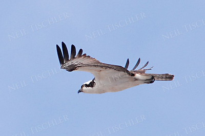 #577  An Osprey in flight