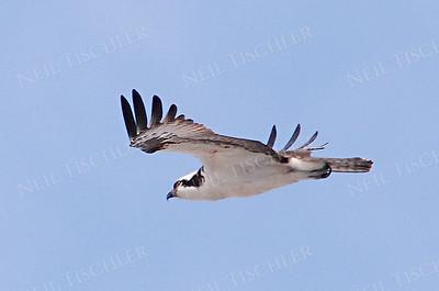 #577  An Osprey in flight
