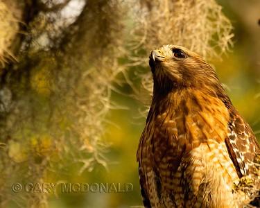 Red Shouldered Hawk at Magnolia Gardens Swamp