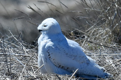 #1453  Snowy Owl at Salisbury Beach, MA    04-22-18