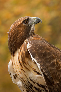 Red Tailed Hawk-Printed_Rehab-2766