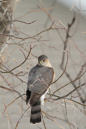 Sharp-Shinned Hawk (Adult) (Accipiter striatus)