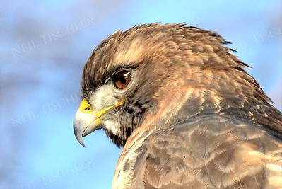 #939  Red tailed hawk portrait
