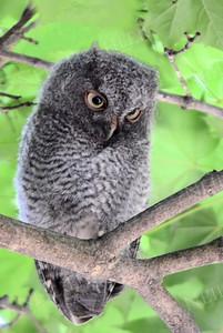 #998  A Screech Owl juvenile