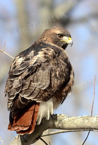 #938  Red tailed hawk
