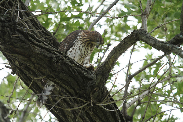 Coopers Hawk (Juvenile) With Prey (Accipiter cooperii)