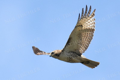 #1383  Red-tailed hawk in flight