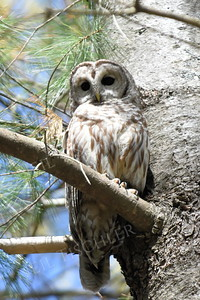 #1426  Barred Owl ... in sunshine, Acton, MA