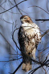 #787  Red tailed hawk, juvenile