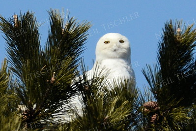 #1065  A Snowy Owl peers back at us in Salisbury, Massachusetts