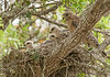 Red Shouldered Hawk Nest with Mom and three chicks.
