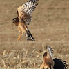 Northern Harrier hawk fight