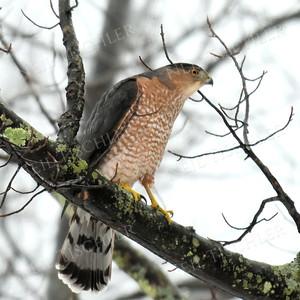 #1347  Cooper's Hawk