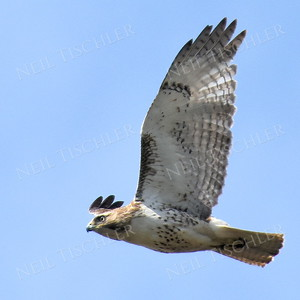 #1379  Red-tailed hawk in flight