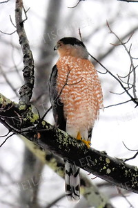 #1342  Cooper's Hawk portrait