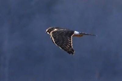 #1652  Northern  Harrier, female  over Plum Island, Newburyport,  MA  on January 1, 2020