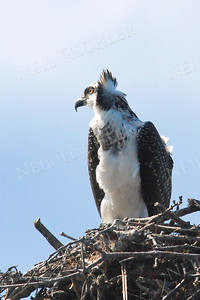 #625  An Osprey juvenile on the nest