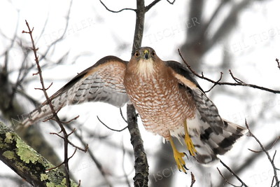 #1349  Cooper's Hawk taking flight