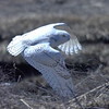 #1456  Snowy Owl  in flight at Salisbury Beach, MA    04-22-18
