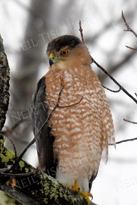 #1344  Cooper's Hawk portrait