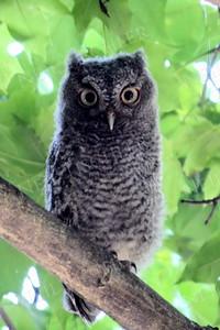#999  A Screech Owl juvenile