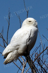 #1062  A Snowy Owl near the beach at Salisbury, Massachusetts
