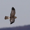 Northern Harrier Gray Ghost