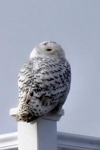 #1496  Snowy Owl atop railing