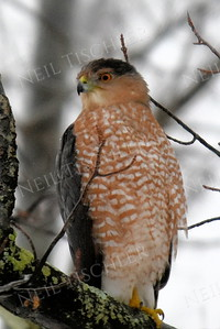 #1343  Cooper's Hawk portrait