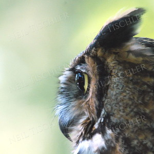 #756  A Great Horned Owl  (in captivity)