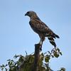 Description - Red-shouldered Hawk <b>Title - Hawkeye</b> <i>- Noah Kersten</i>