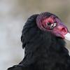 Description - Turkey Vulture <b>Title - Turkey Vulture</b> <i>- John Block</i>