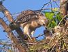 Description - Red-shouldered Hawk with Chicks <b>Title - Red-Shouldered Hawk with Chicks</b> <i>- Tom Rasmussen</i>